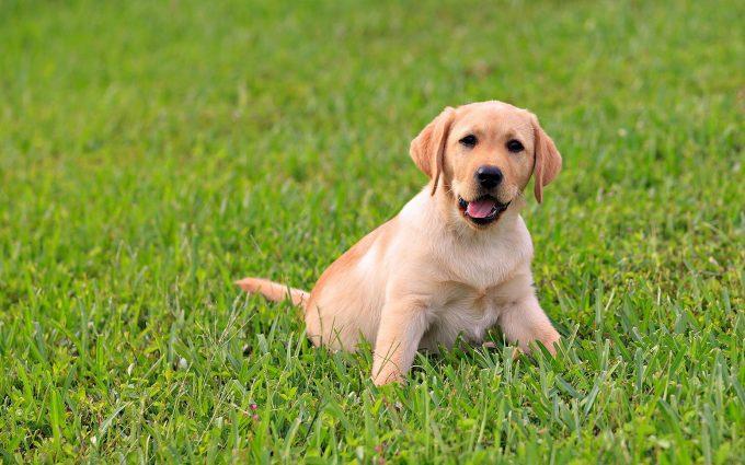 cute labrador