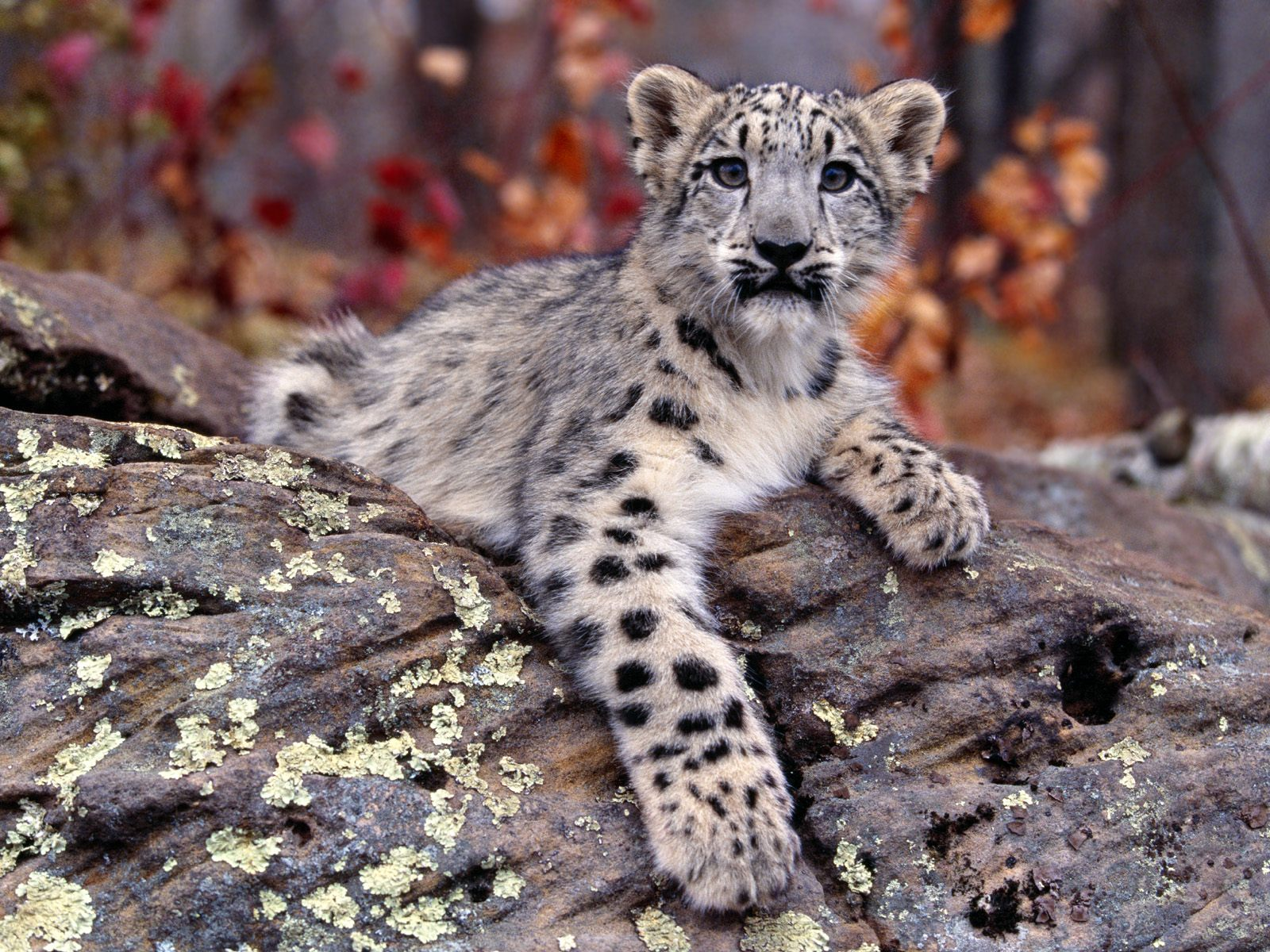 cute leopard wallpaper