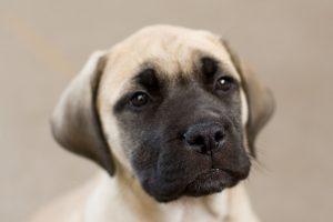 cute mastiff