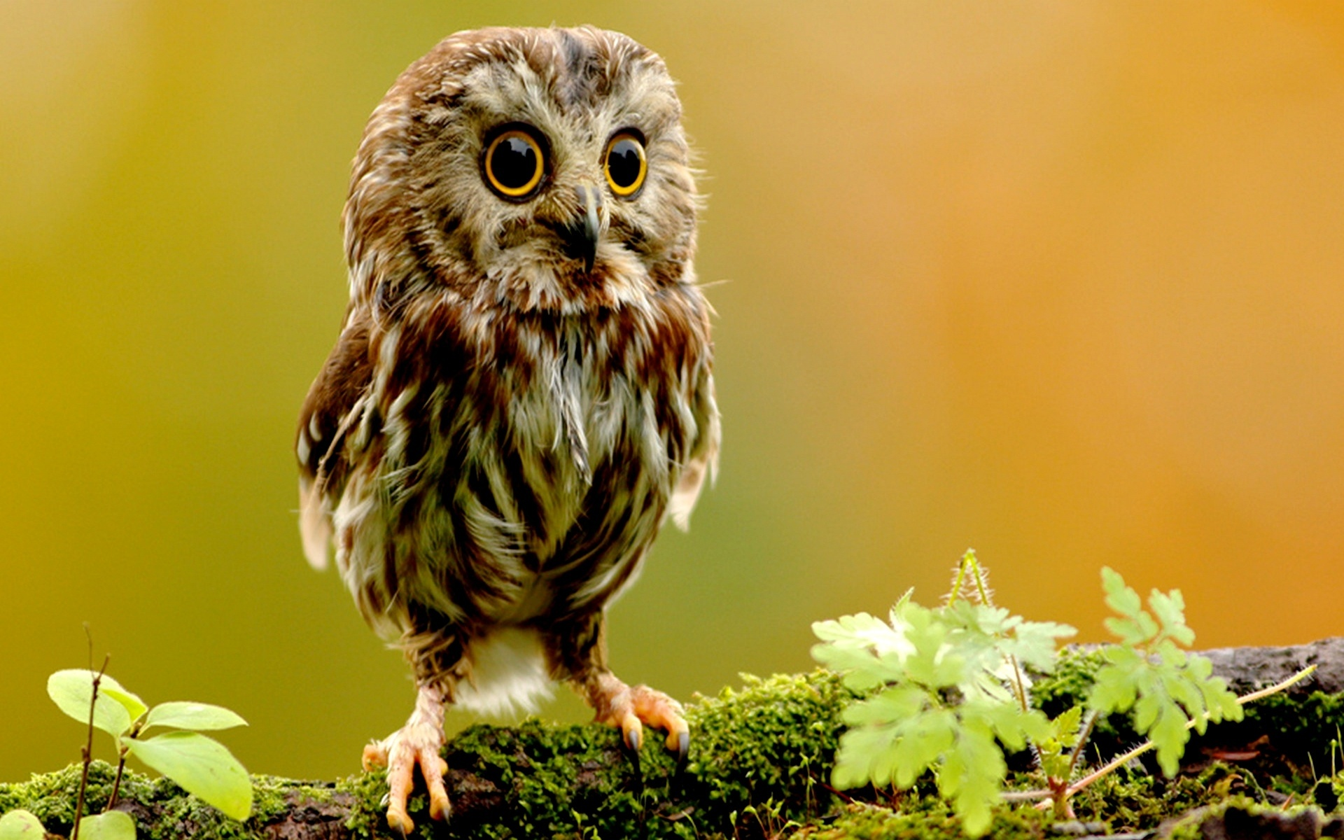 cute owl wallpapers - HD Desktop Wallpapers 4k HD