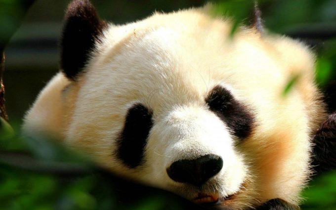 cute panda wallpapers A1