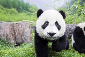 cute panda wallpapers A3