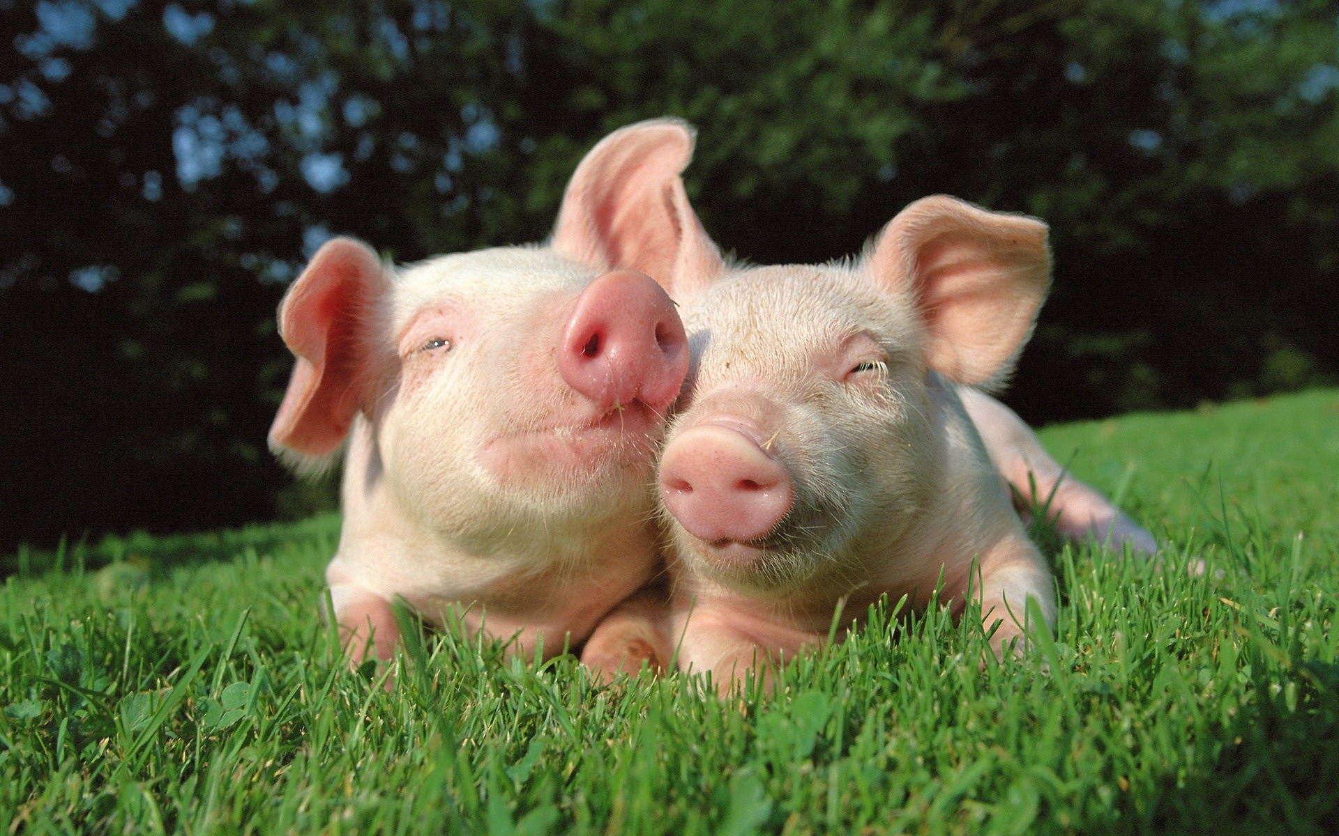 cute pigs wallpaper A12