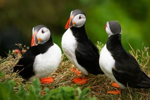 cute puffin wallpaper A14