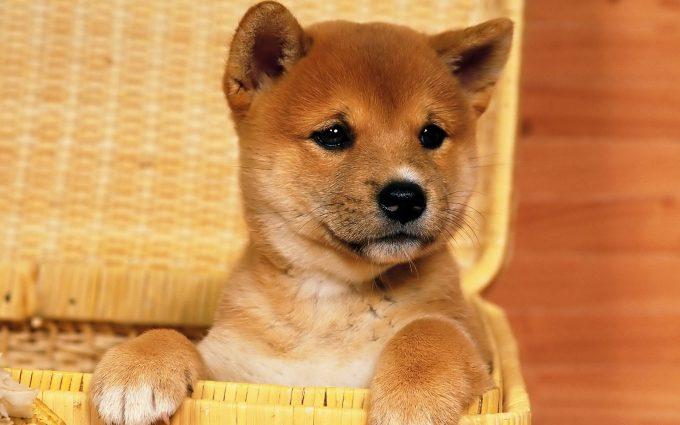 cute puppy A2