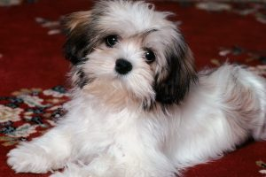 cute puppy pictures A15