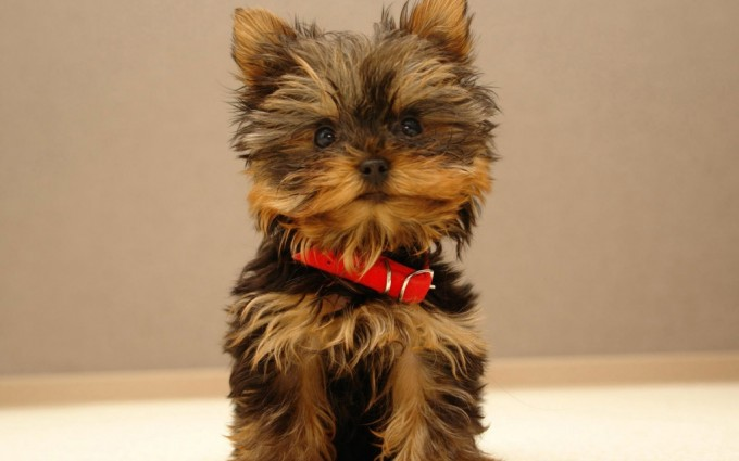 cute puppy wallpapers A1