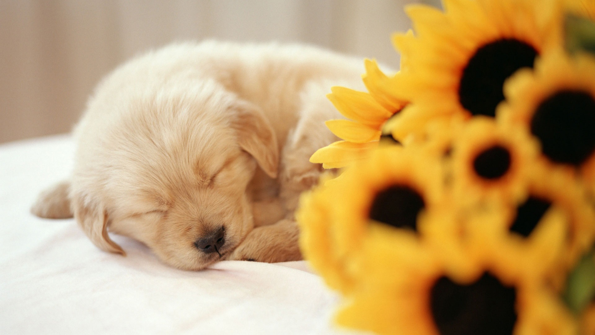 cute puppy wallpapers a10 aa