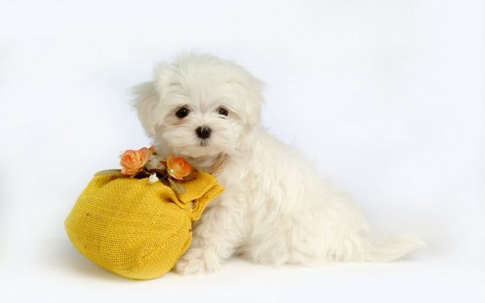 cute puppy wallpapers A6