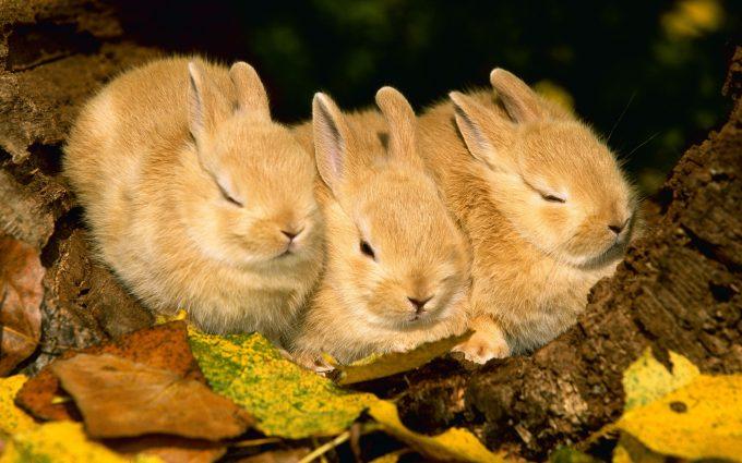 cute rabbit wallpapers