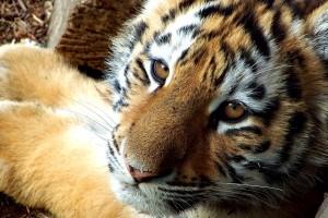 cute tiger wallpaper