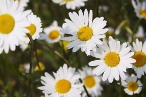 daisies hd