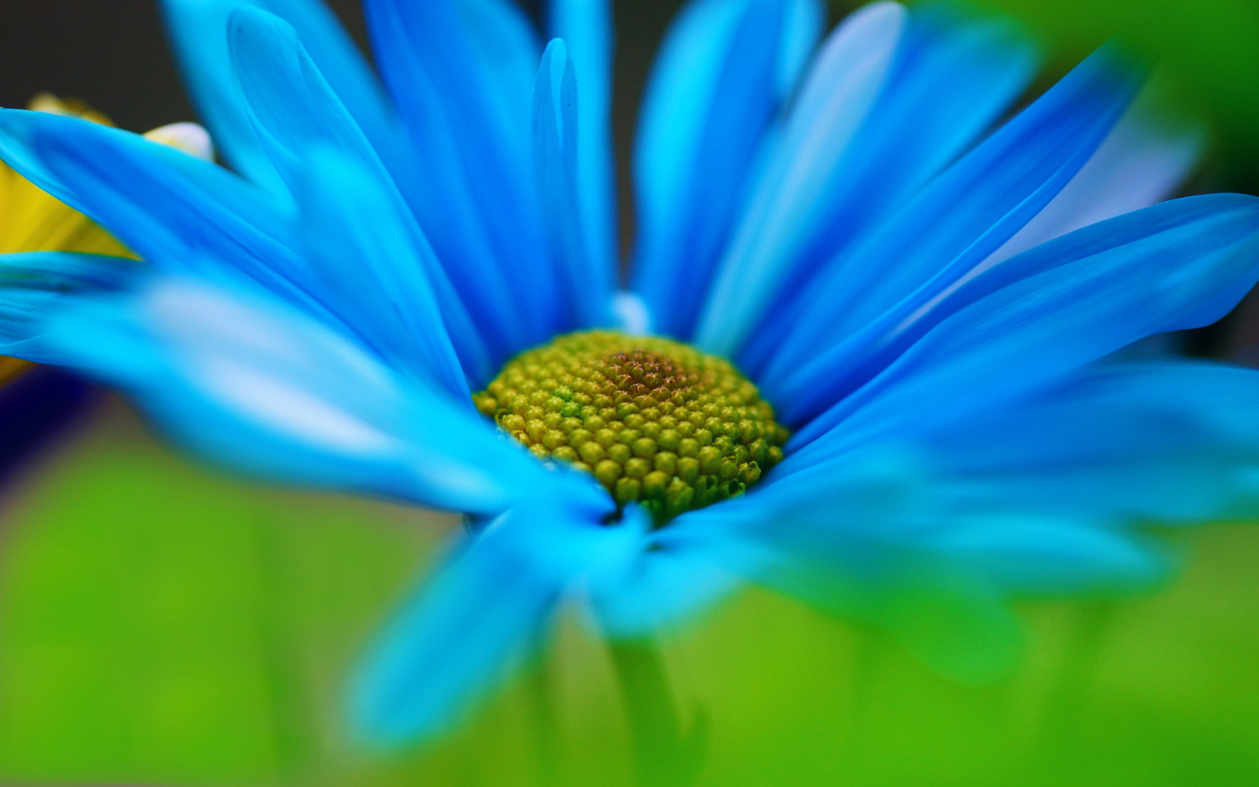 daisy blue wallpaper