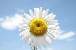 daisy flower smile