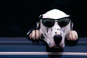 dalmatian dog funny