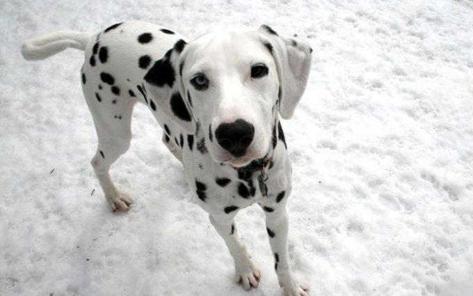 dalmatian dog pics