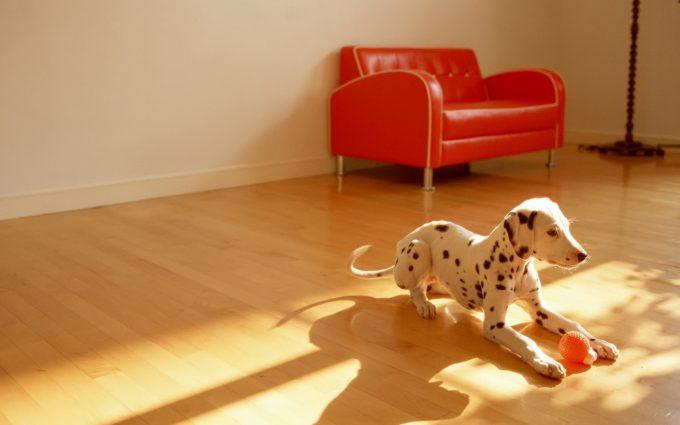 dalmatian dog pictures