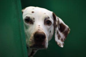 dalmatian dog wallpaper