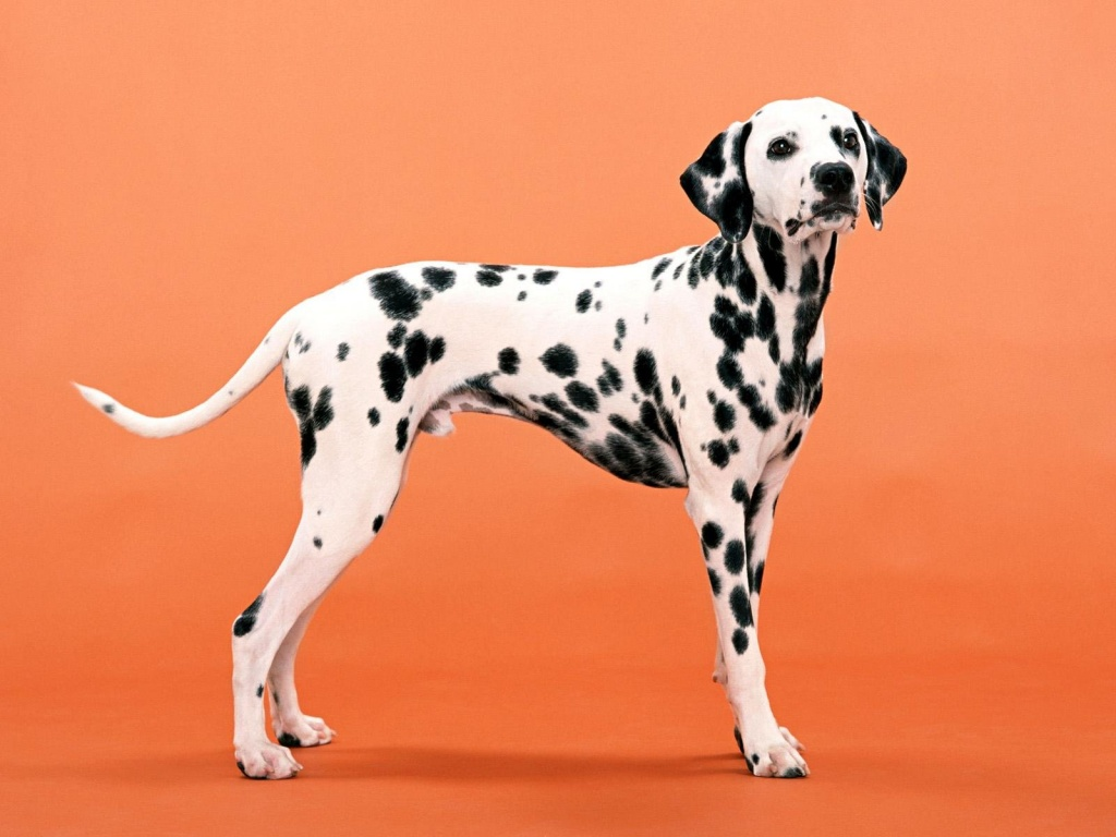 dalmatian wallpaper hd