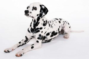 dalmatian wallpapers