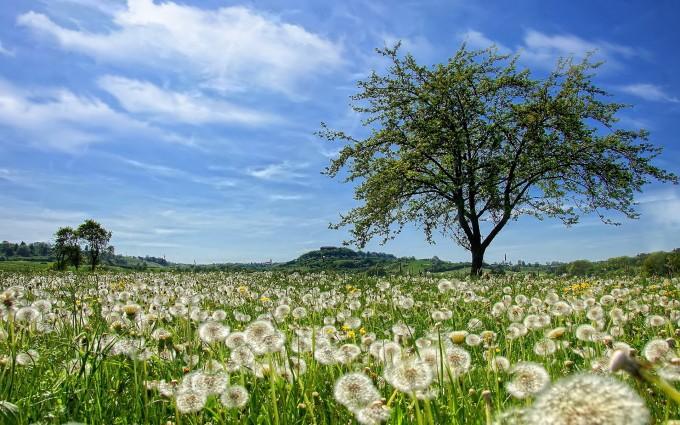 dandelion field hd