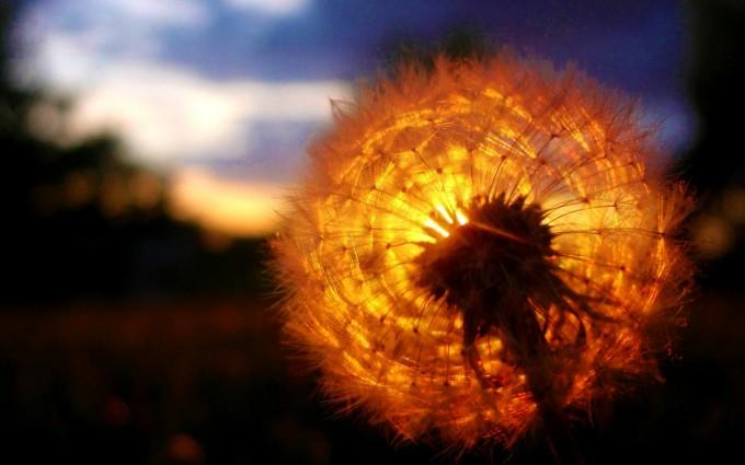 dandelion sunset pictures