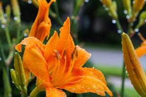daylily dew drops flower