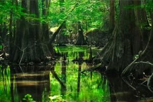 deep forest wallpaper swamp