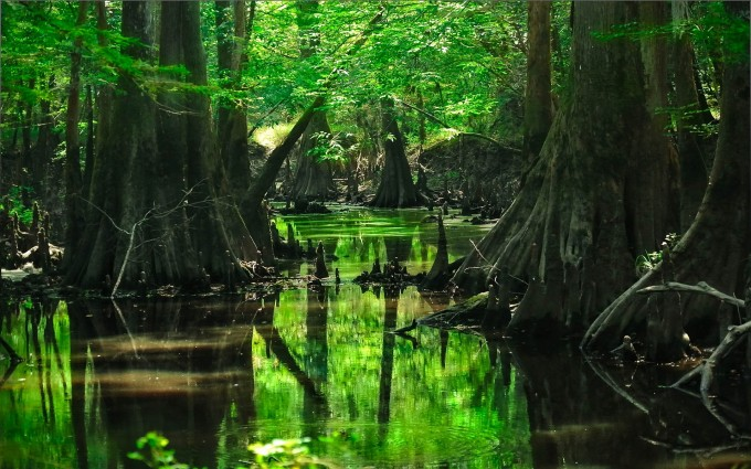 deep forest wallpaper swamp