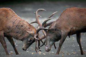 deer animal wallpaper