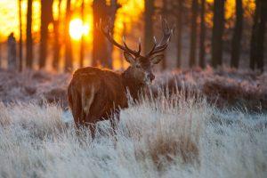 deer forest wallpaper
