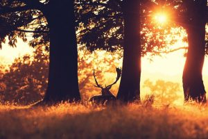 deer hd wallpaper