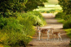 deer screen savers