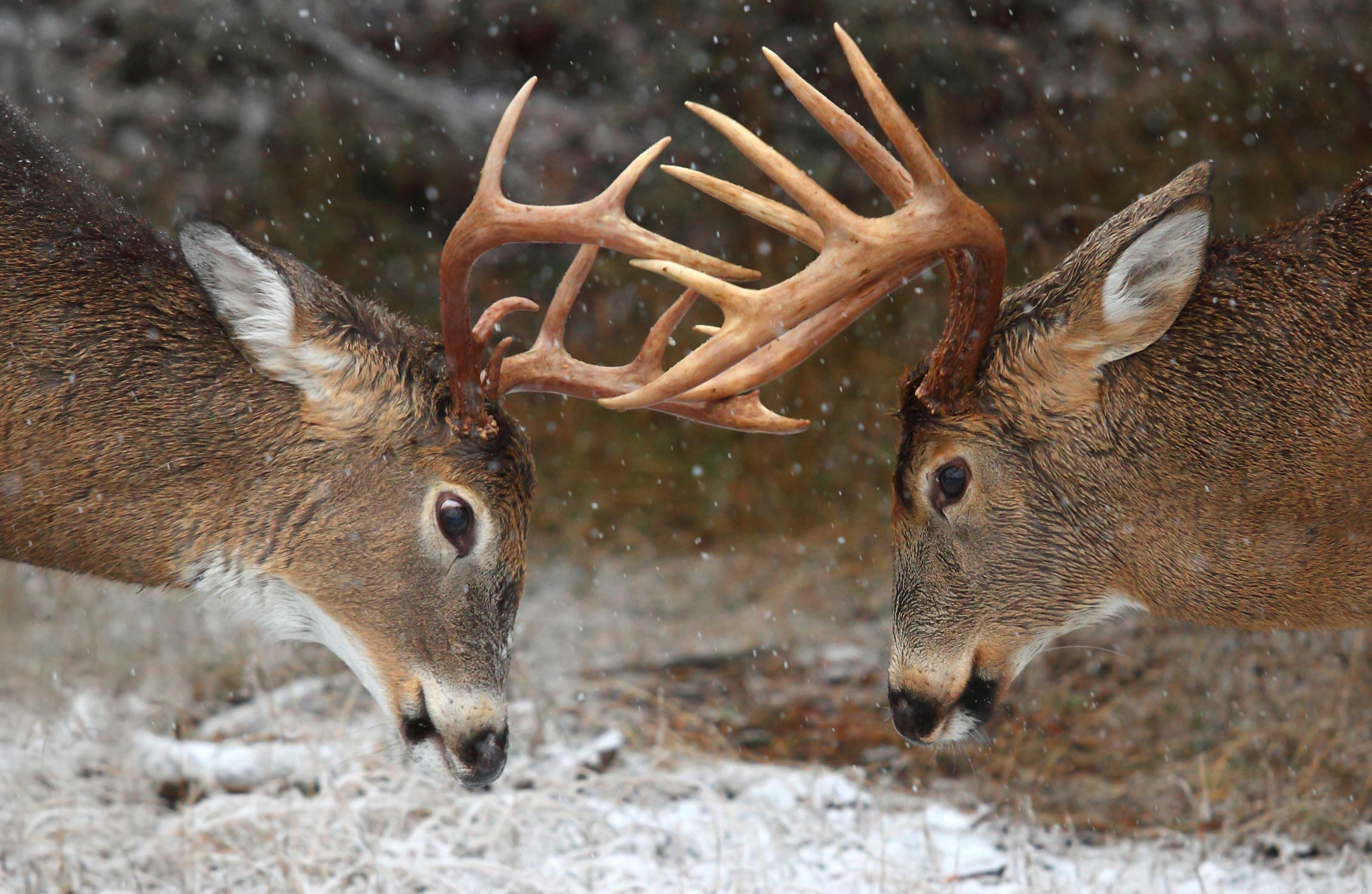 deerwallpaper
