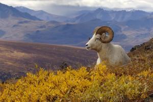 Dall's Sheep (Ovis dalli) male Denali National Park, Alaska