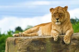 desktop lion wallpaper
