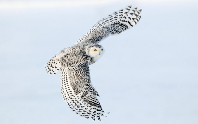 desktop owl