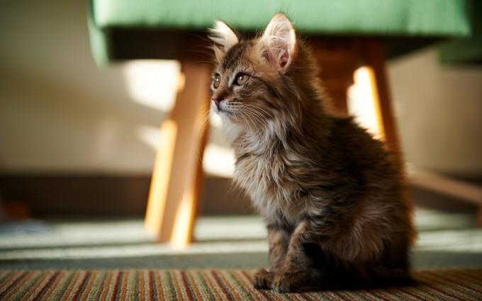desktop wallpaper cat