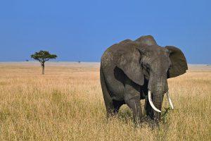 desktop wallpaper elephant