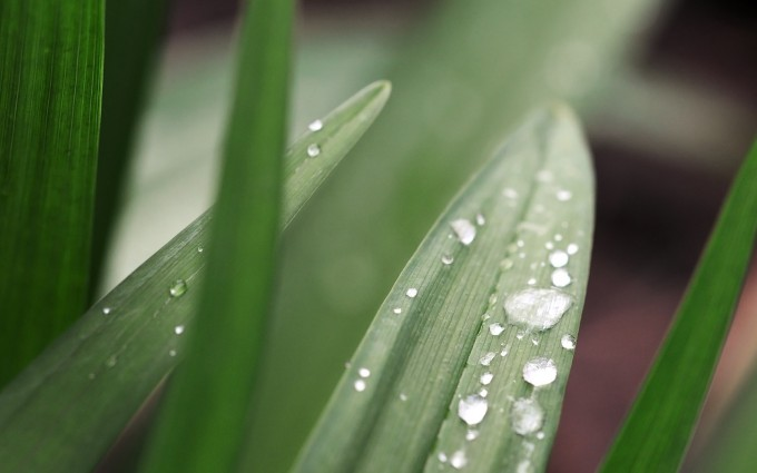 dew drops pictures leaves