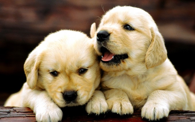 Golden Retriever (Canis familiaris), two puppies resting on a log