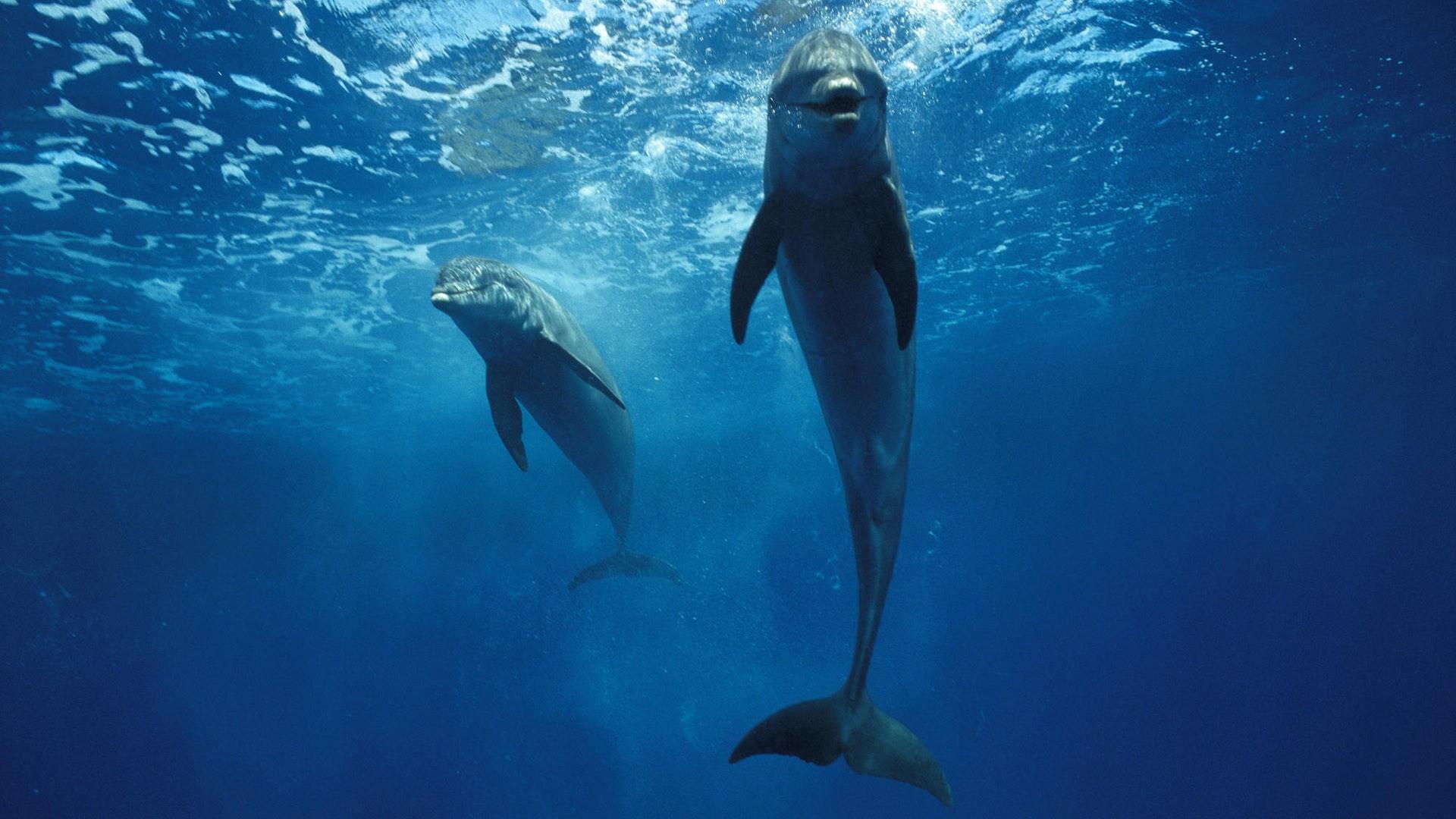 Bottlenose Dolphins (Tursiops truncatus) pair swimming underwater, Honduras
