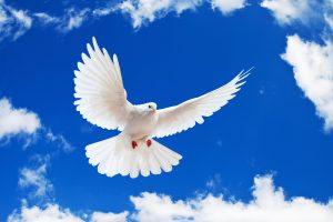 dove wallpaper hd