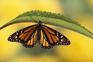 download free butterfly wallpaper