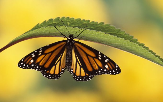 download free butterfly wallpaper