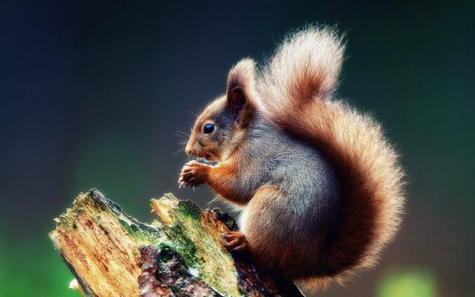 download squirrel