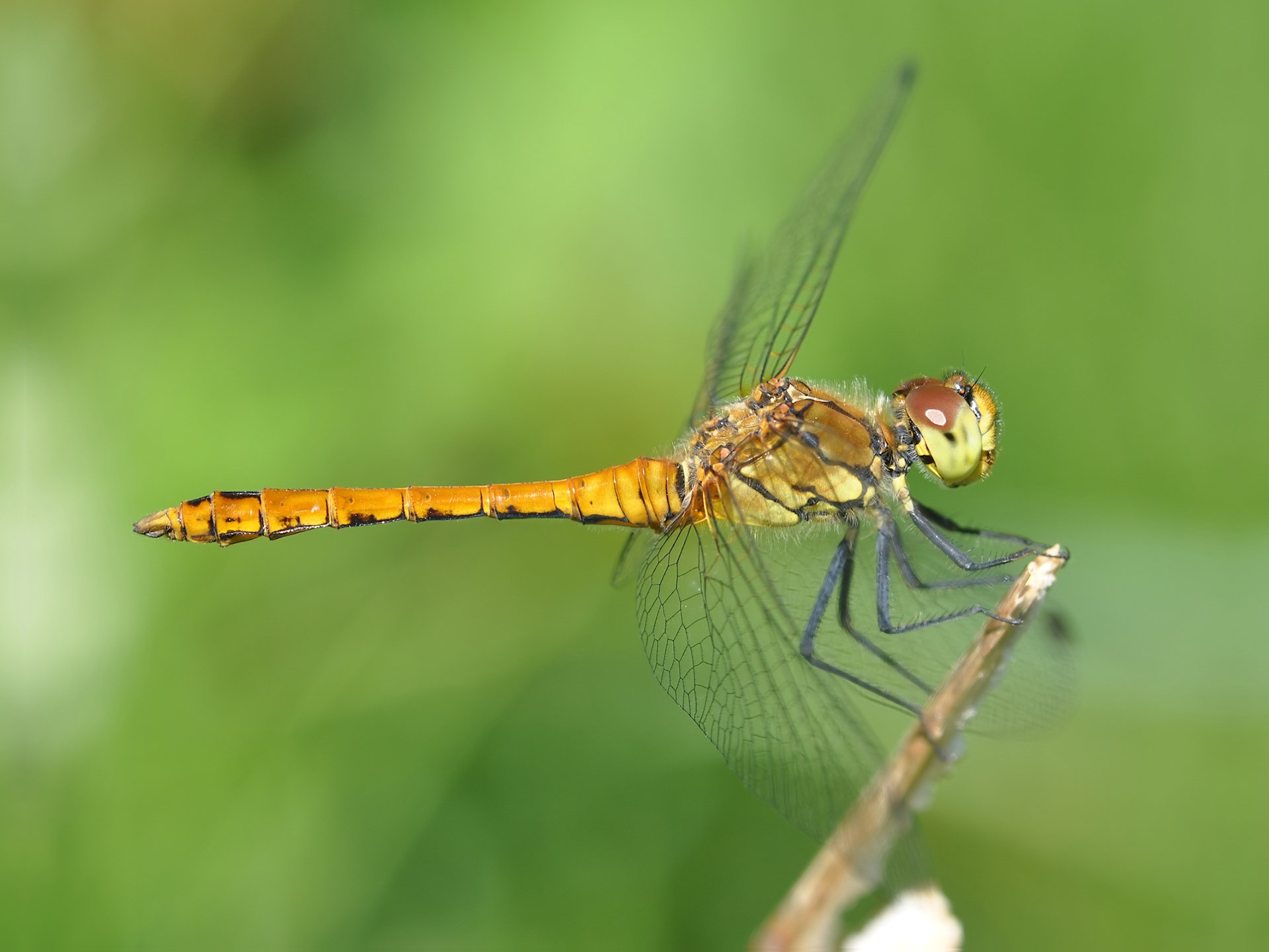 dragonfly free