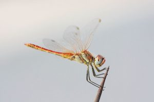 dragonfly pictures free