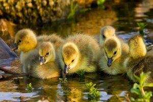 duck 1080p