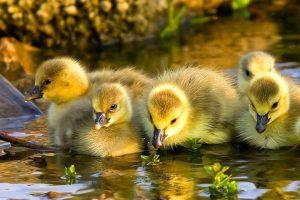 duck download